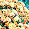 crizanteme, tufanele