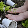 plantare ardei
