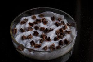 seminte rubarba- preincoltirea semintelor