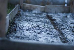 cultivarea morcovului in gradina