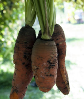 seminte-de-morcovi