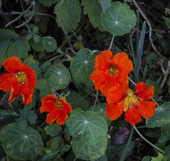 seminte condurasi